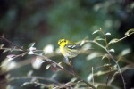 townsends warbler
