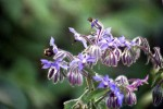 bee borage2