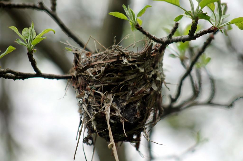 Picture 667 oriole nest