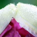 Picture 036 poppy