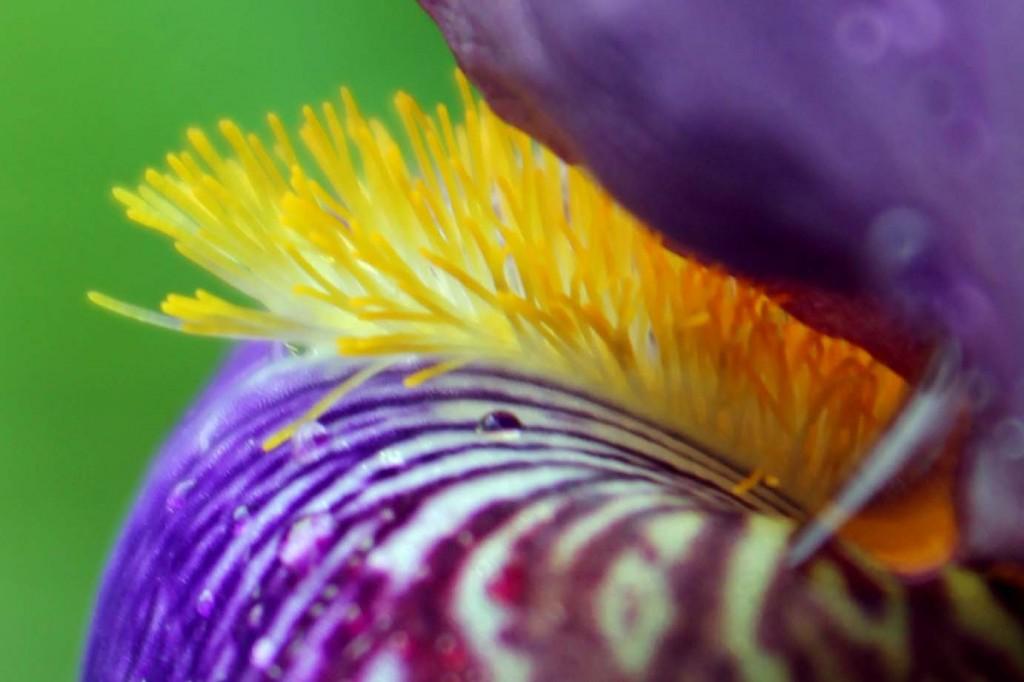 Picture 277 iris macro