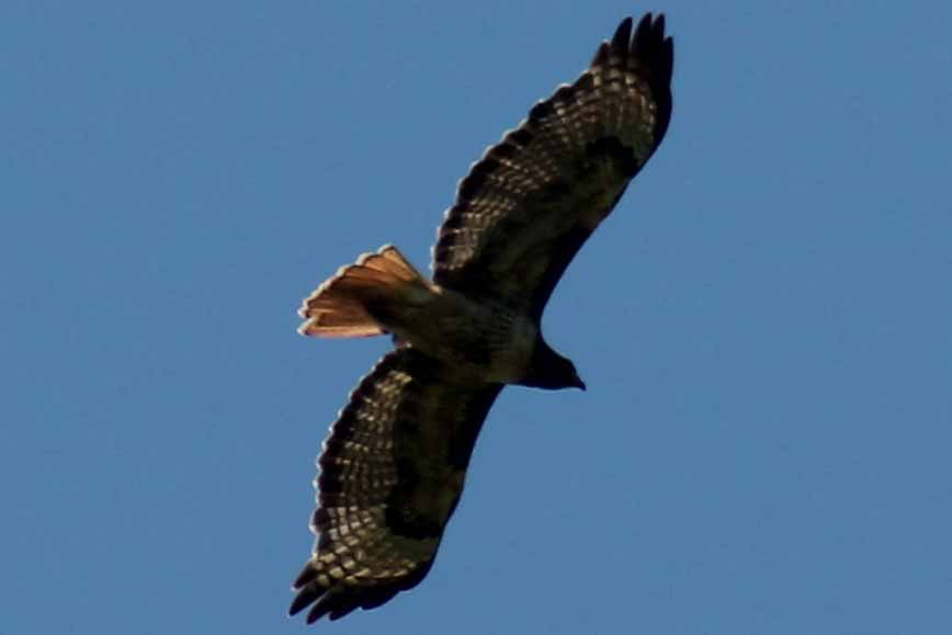 Pictured 011 hawk