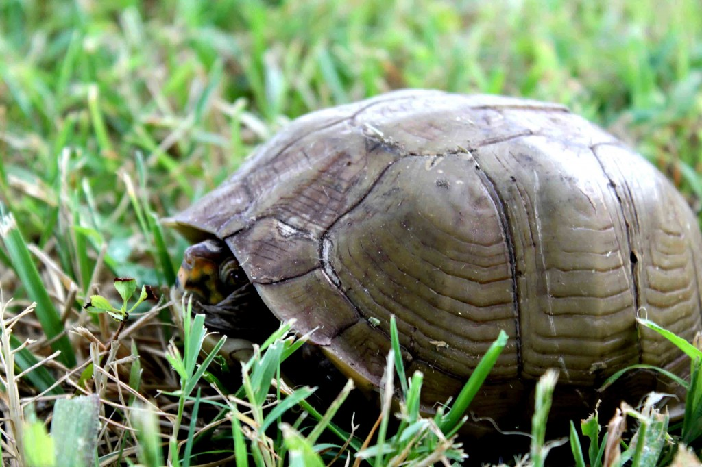 brown turtle Picture 012