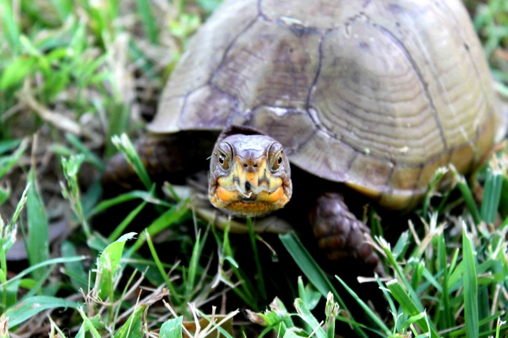 brown turtle Picture 015