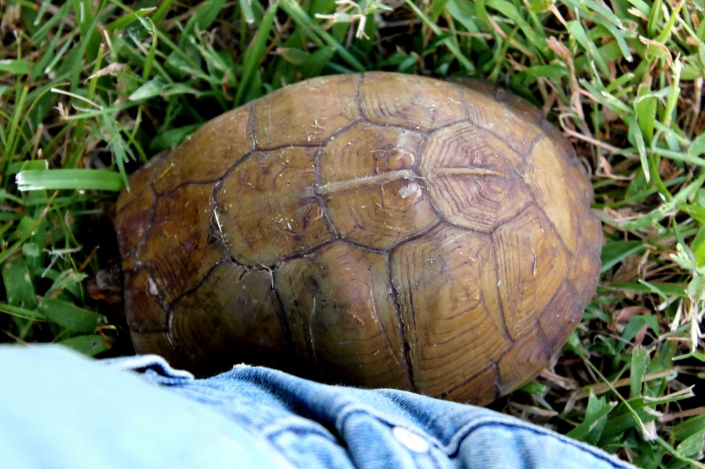 brown turtle Picture 017