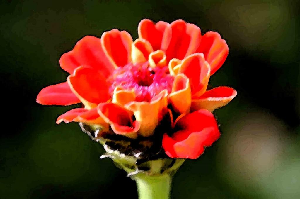 orange zinnia wc filter Picture 016