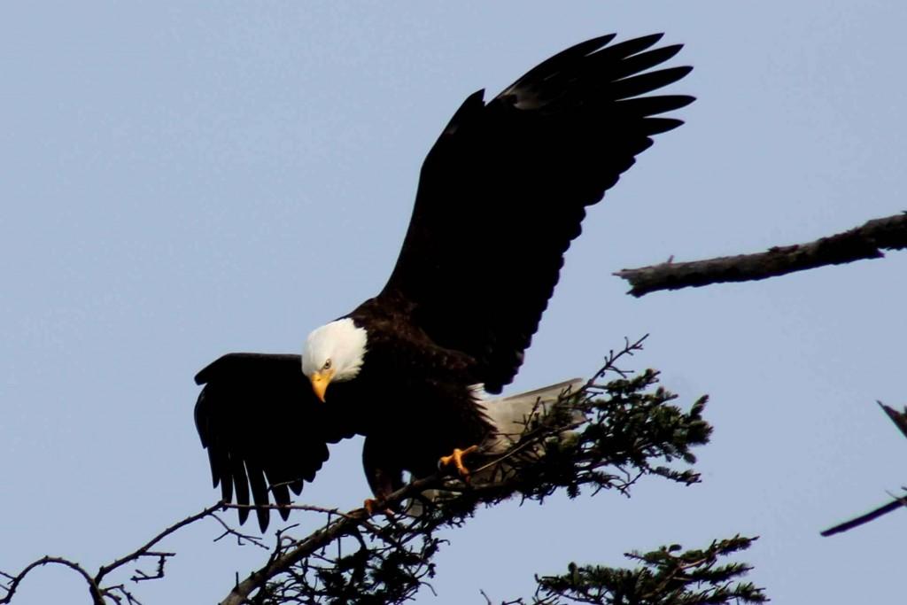 eagle 1 IMG_6794