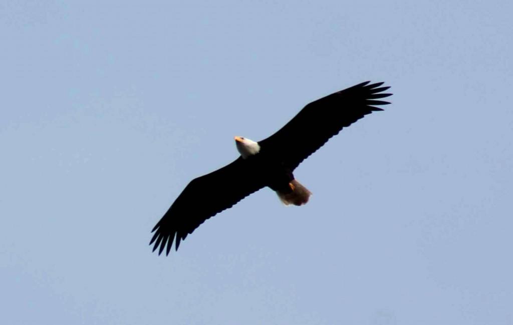 eagle IMG_6771