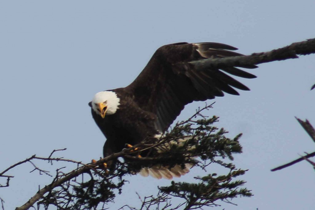 eagle IMG_6795