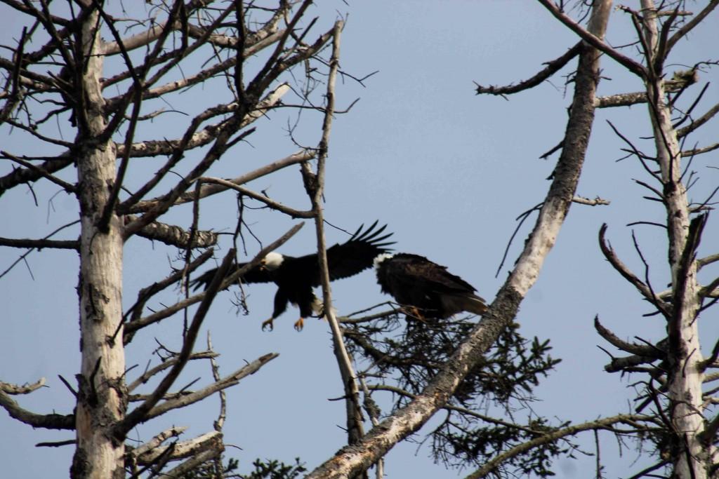 eagles IMG_6783