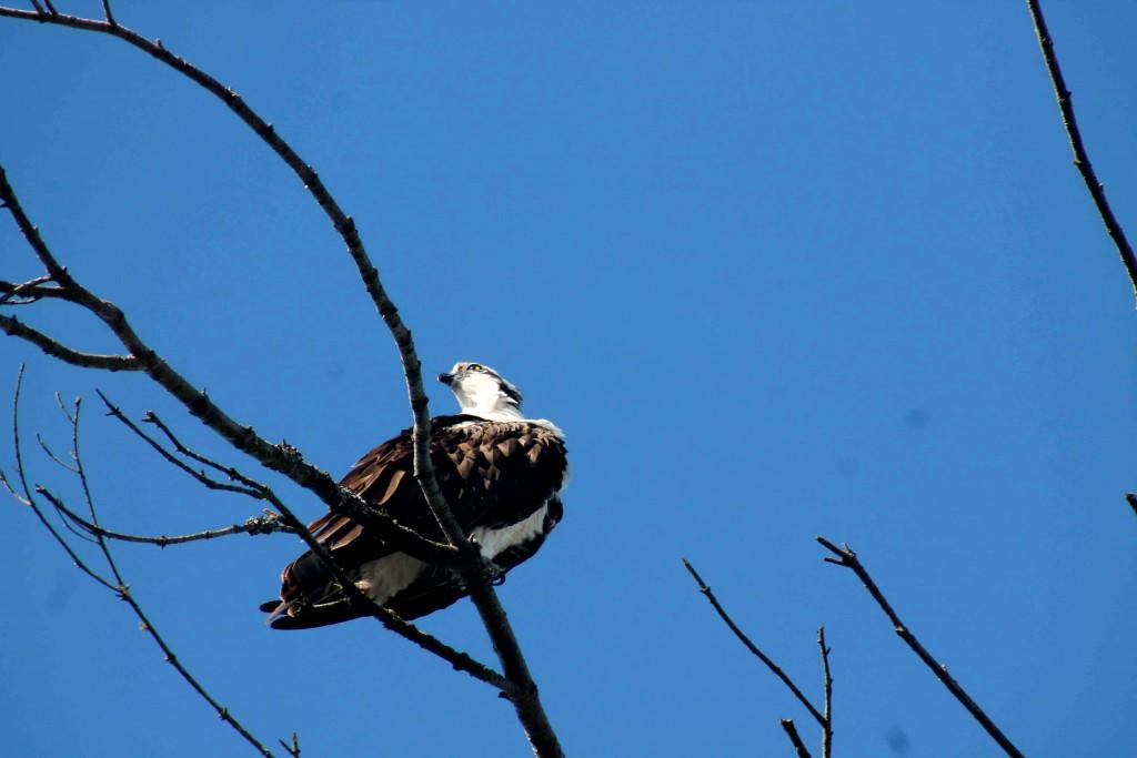 blue osprey IMG_8971