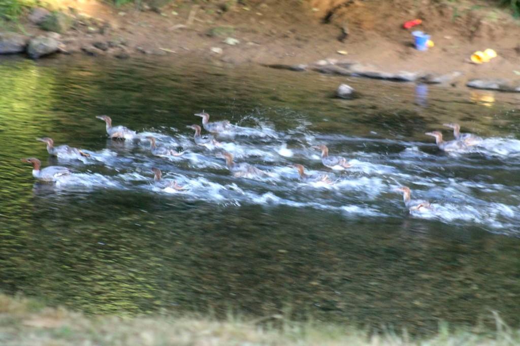 ducks IMG_9278