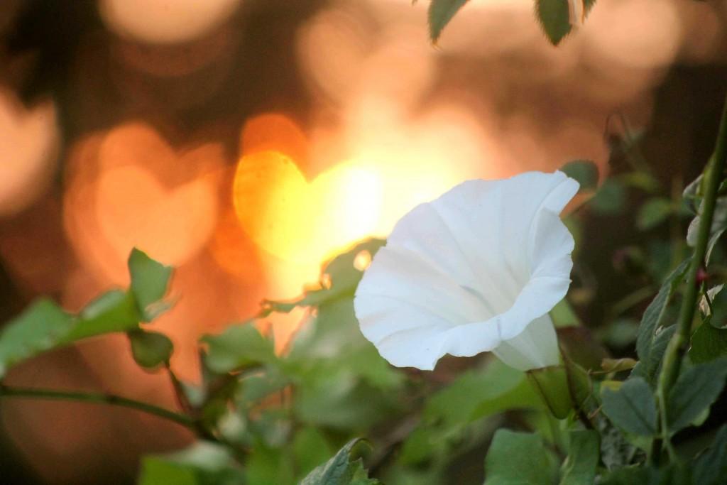 morning glory IMG_0268
