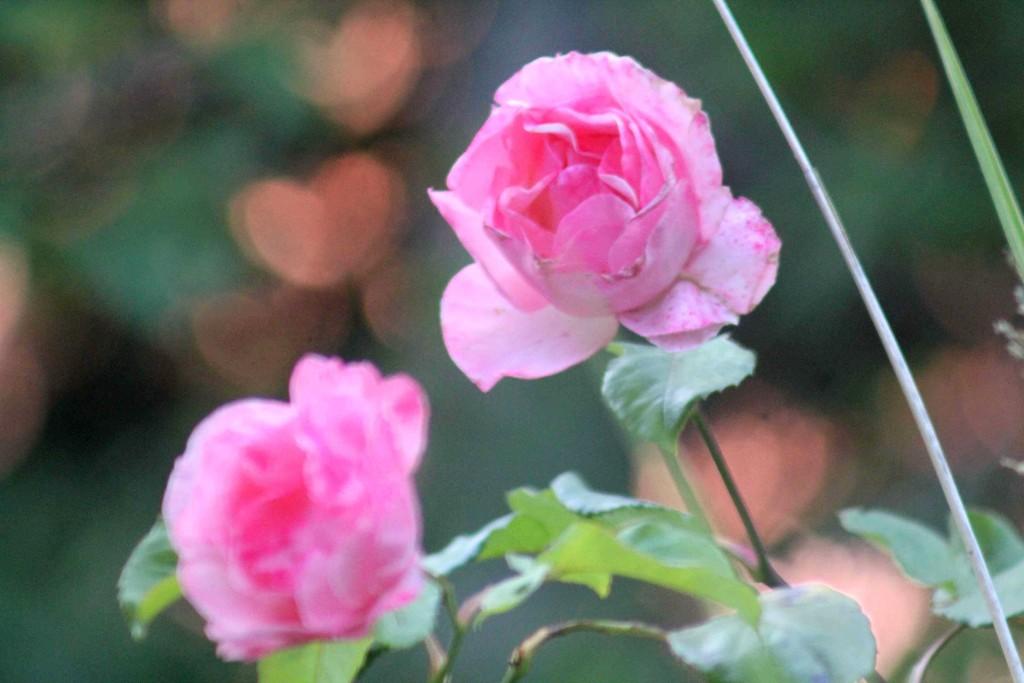 pink IMG_0267