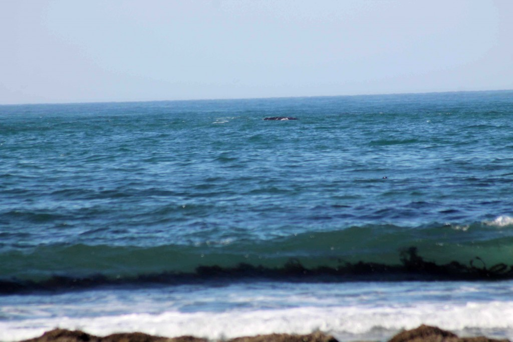 whale kelp IMG_1708