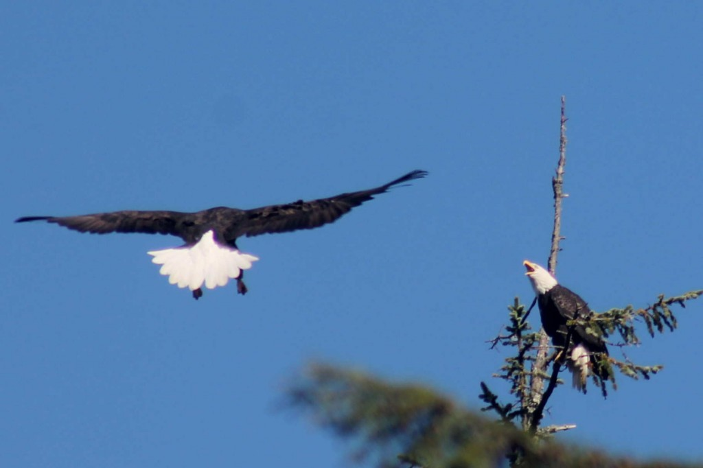 blue eagle 2 IMG_2012
