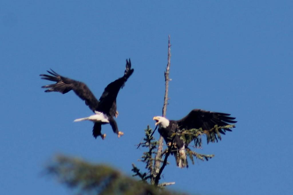 blue eagle 3 IMG_2013