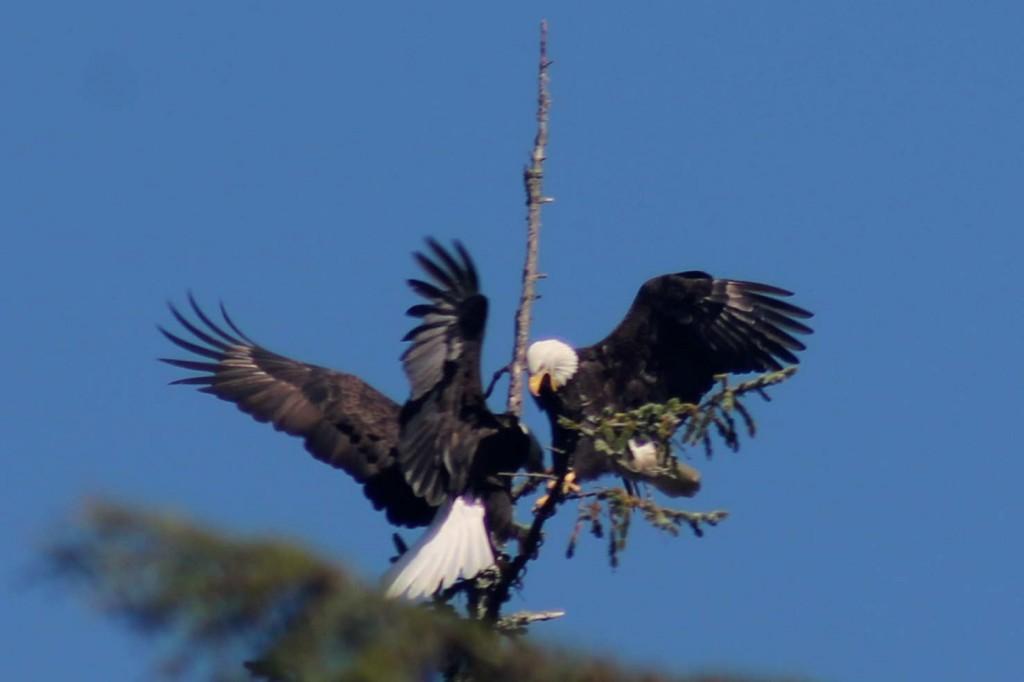 blue eagle 4 IMG_2014