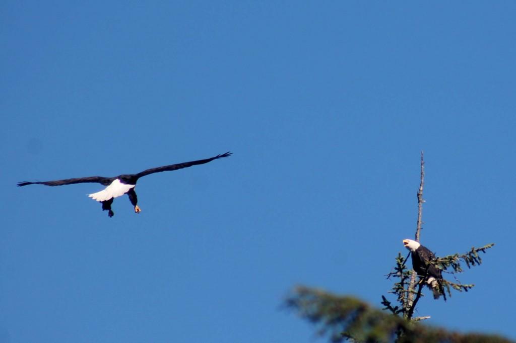 blue eagle IMG_2011
