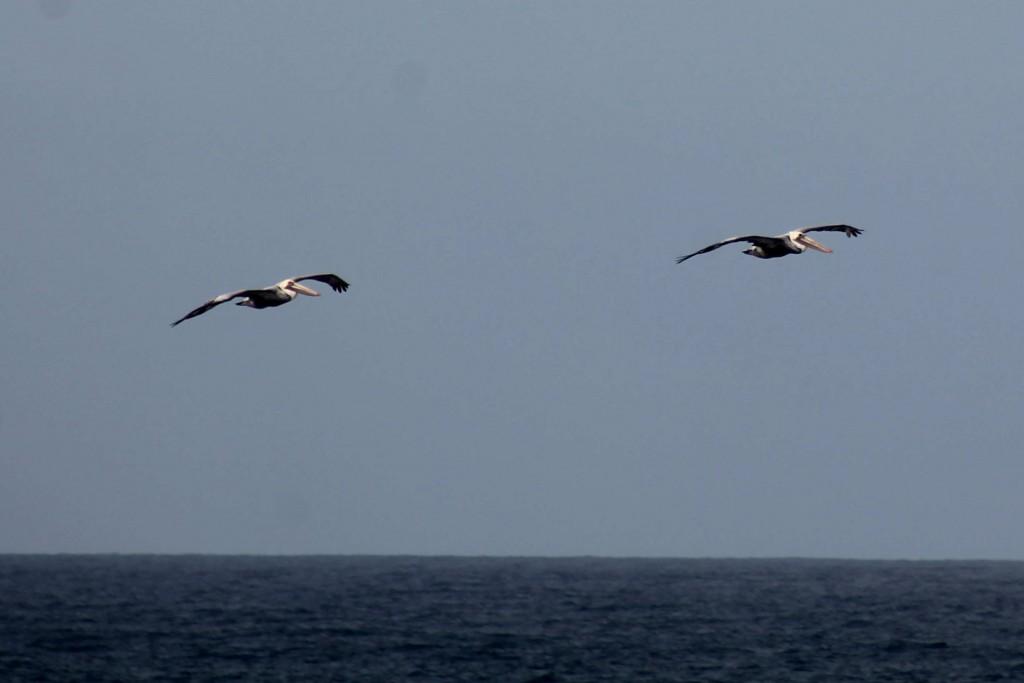 pelicans IMG_1925