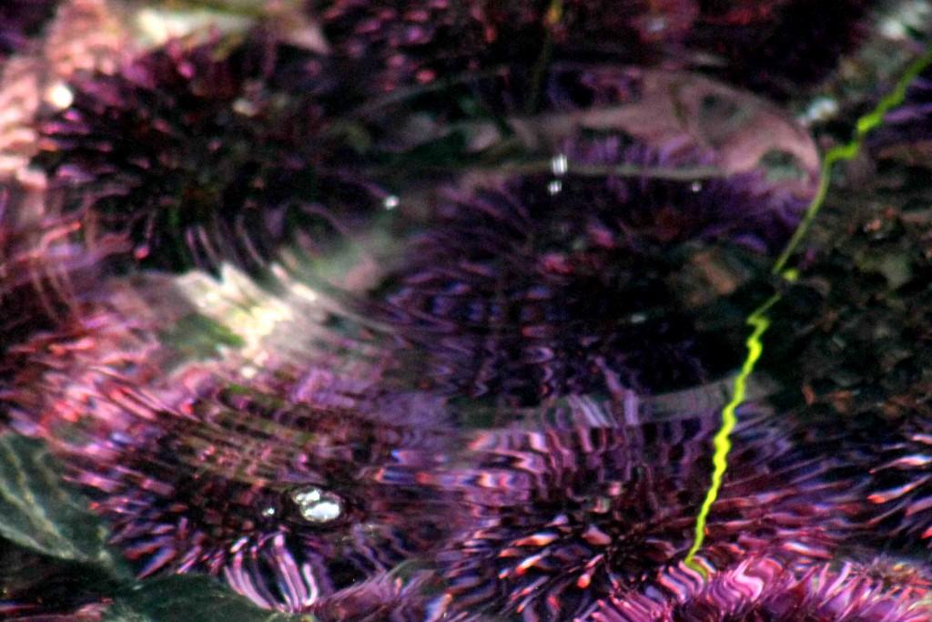 purple ripple crop IMG_2321