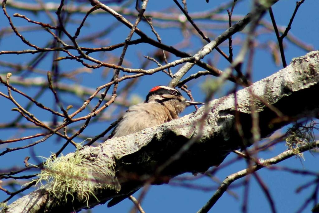 woodpecker IMG_2824
