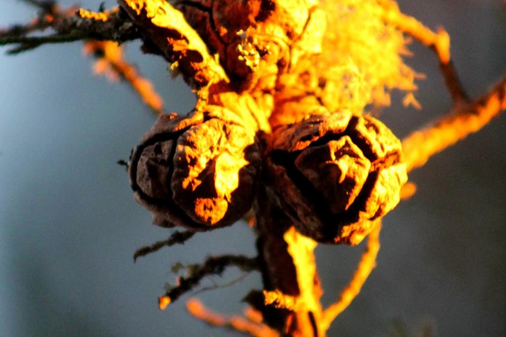 sequoia IMG_3061