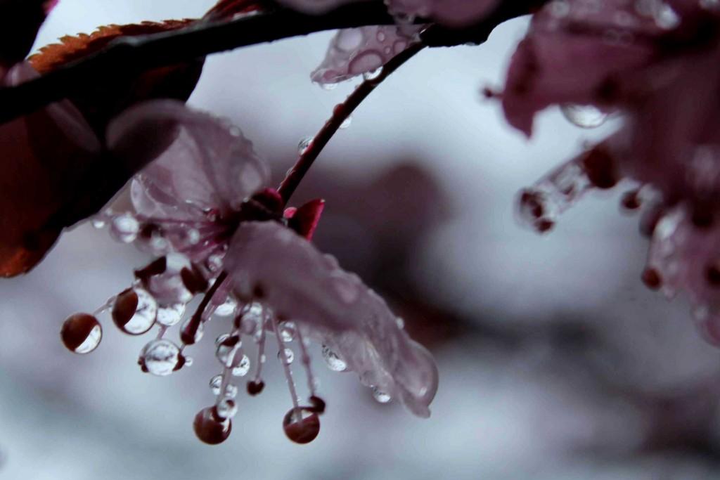 blossom IMG_4410