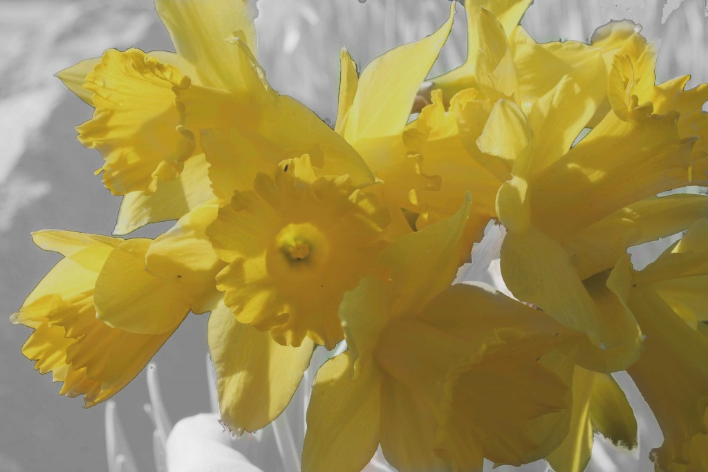 daffodils with gray
