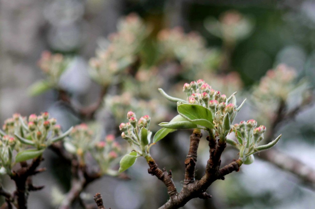 pear buds IMG_4752