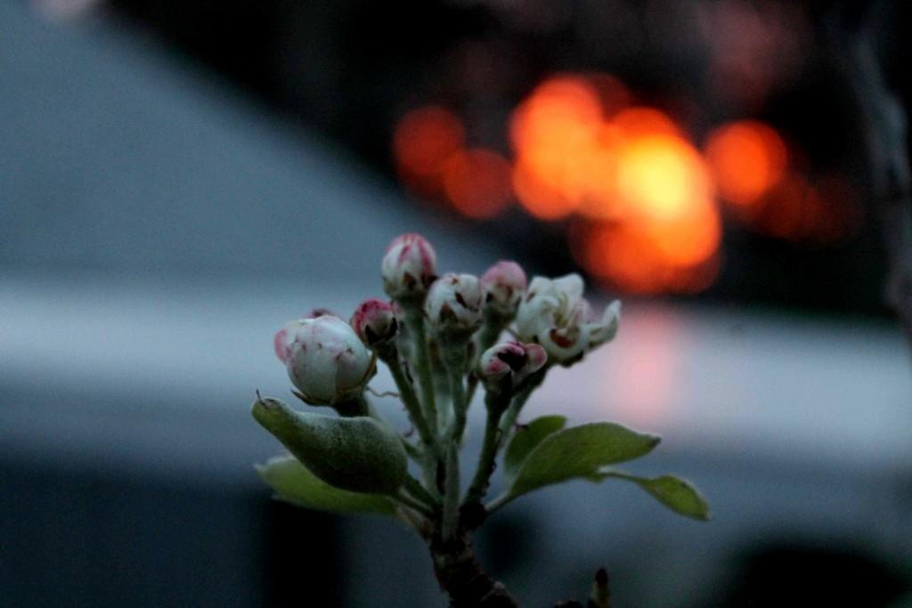 sunrise pear roof IMG_4949