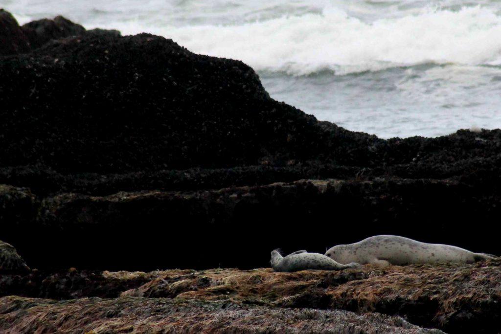 baby seal IMG_6663