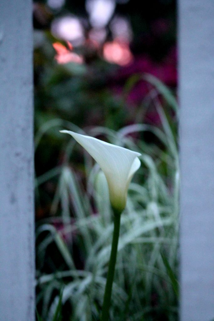 calla sunrise IMG_6066