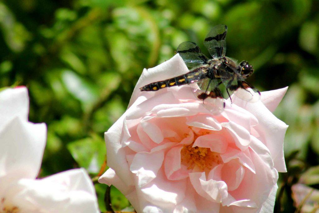 dragon rose IMG_6921