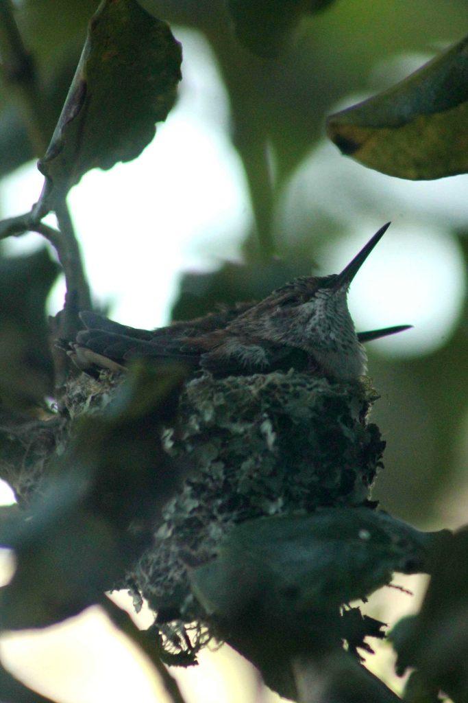 hummingbirds IMG_6313
