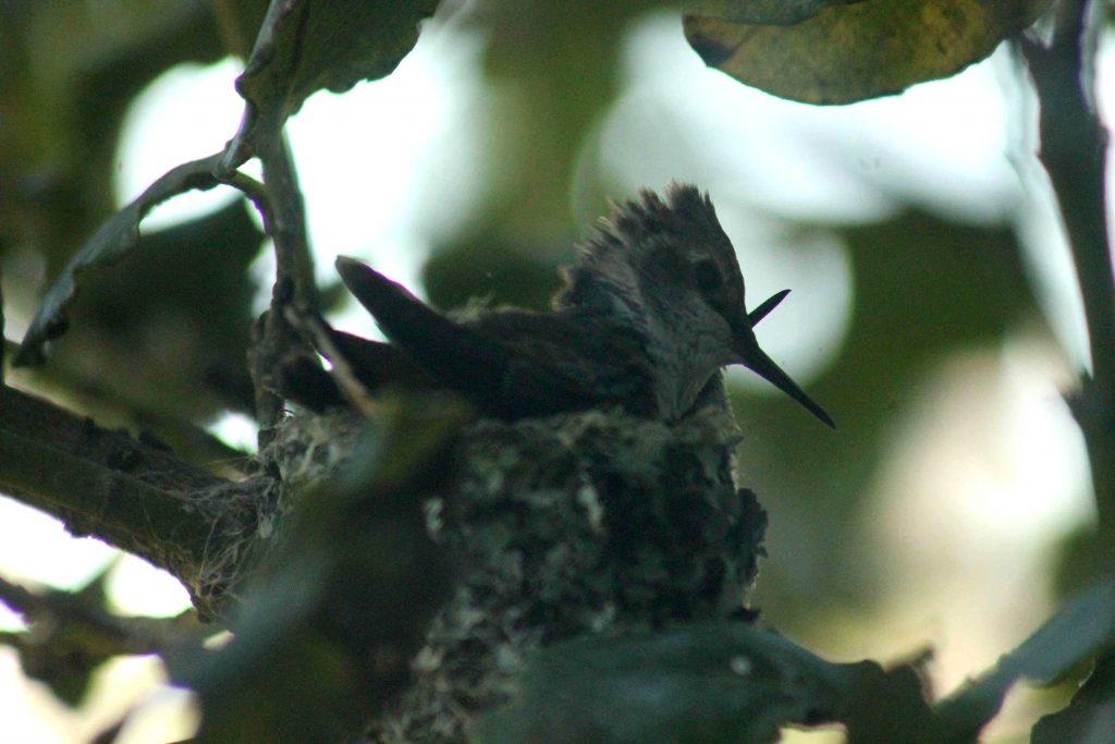 hummingbirds IMG_6332