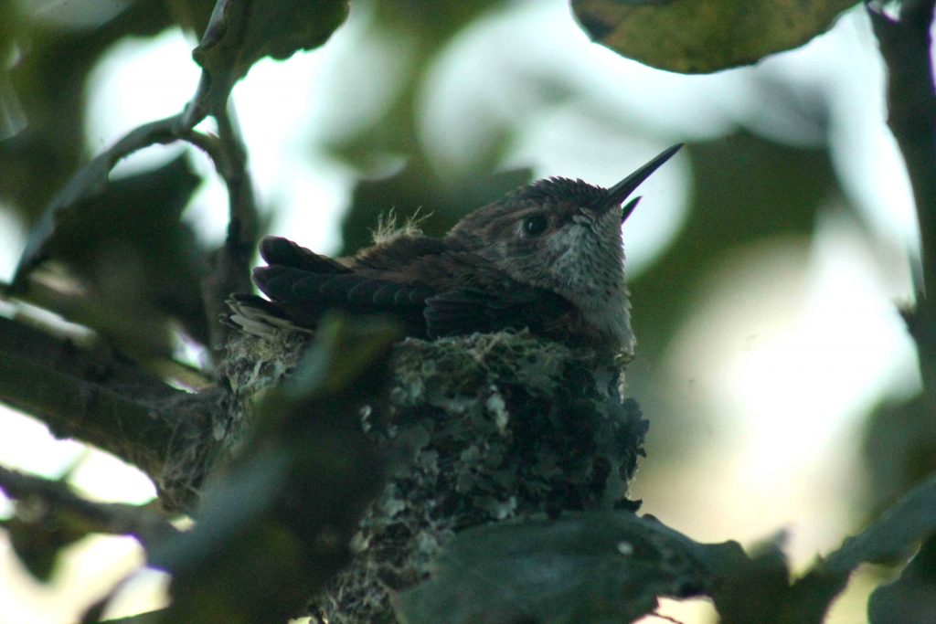 hummingbirds IMG_6334