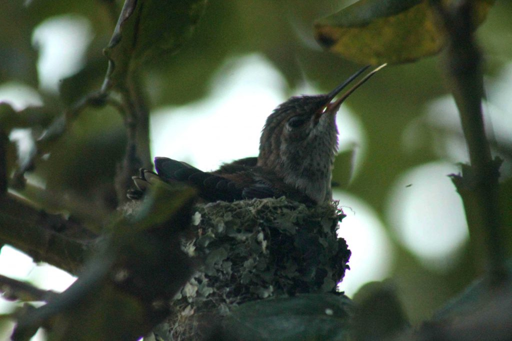 hummingbirds IMG_6365