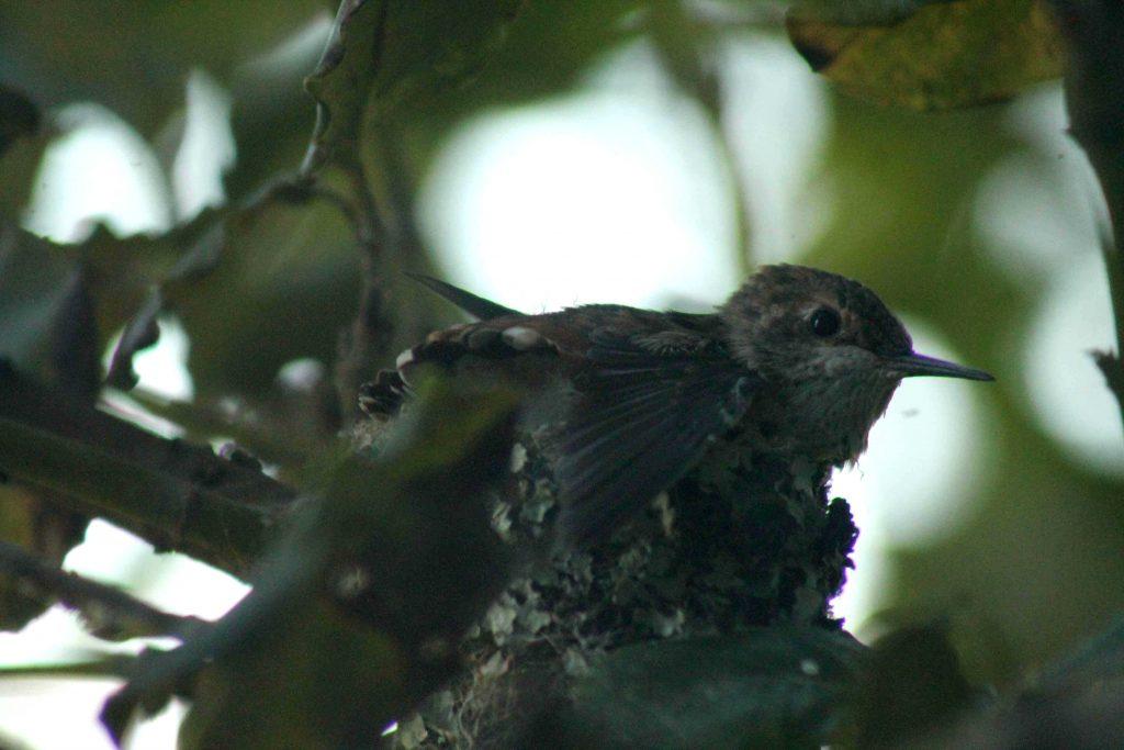 hummingbirds IMG_6379