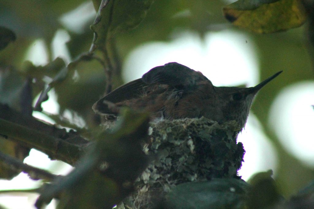 hummingbirds IMG_6380