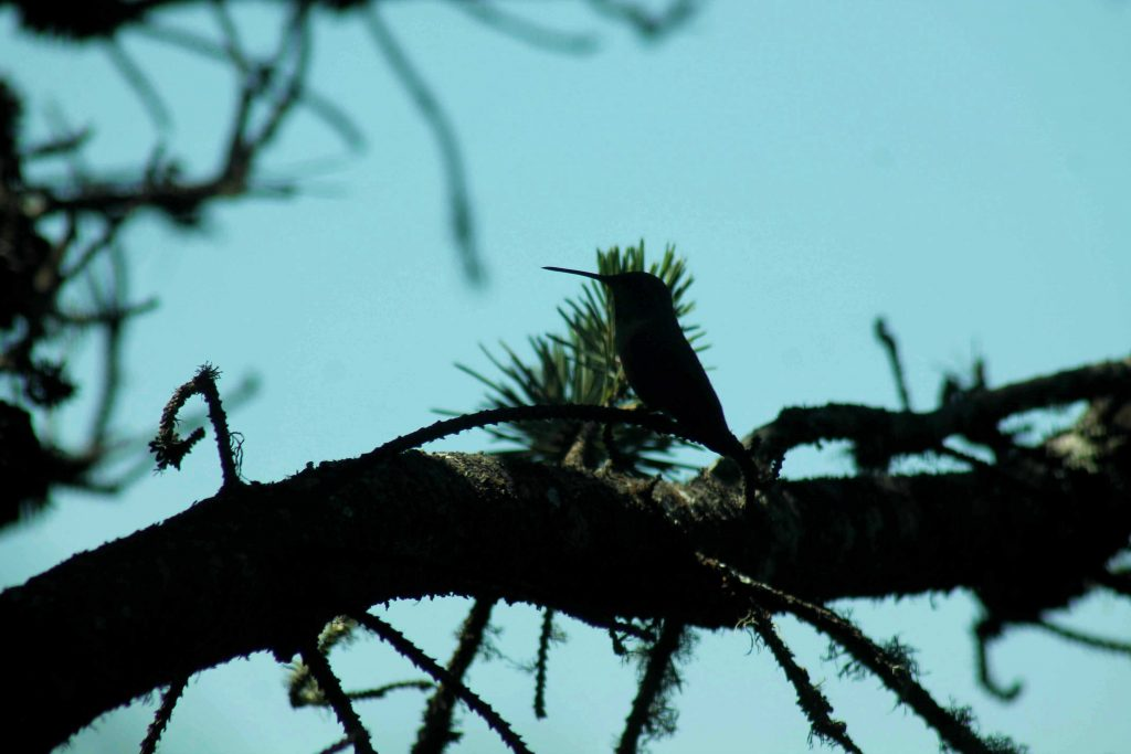 hummingbirds IMG_6389
