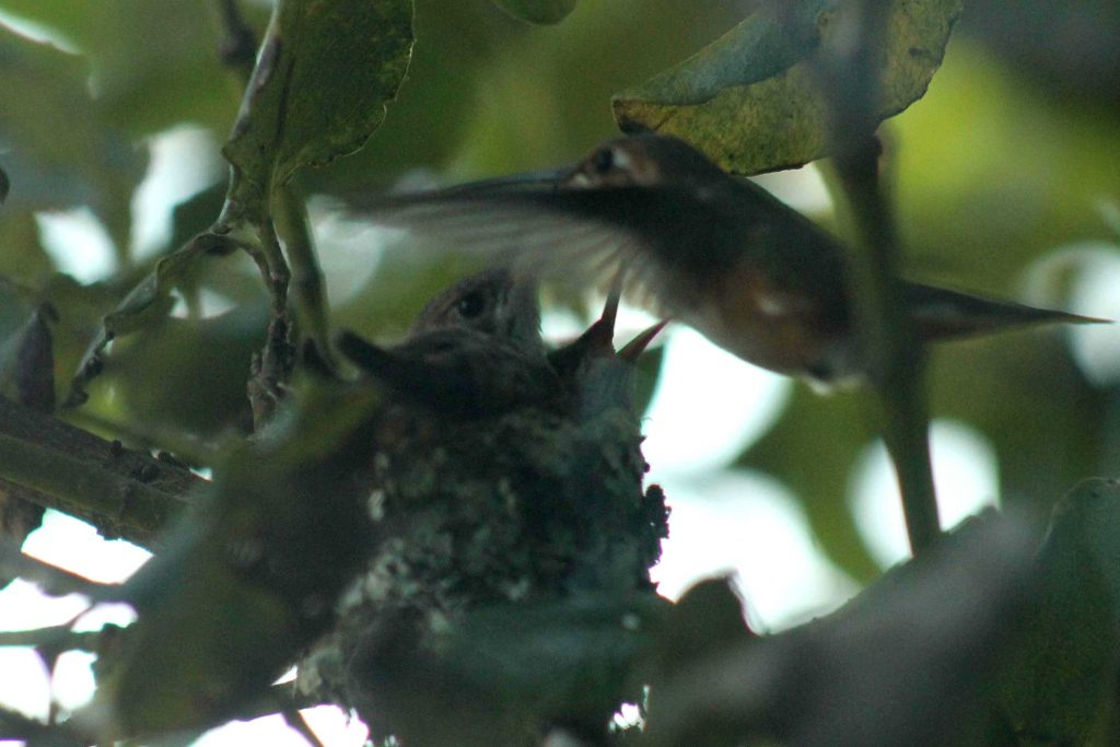 hummingbirds IMG_6407