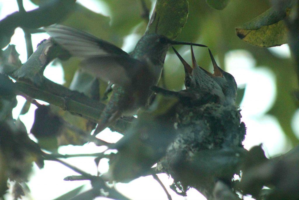 hummingbirds IMG_6413