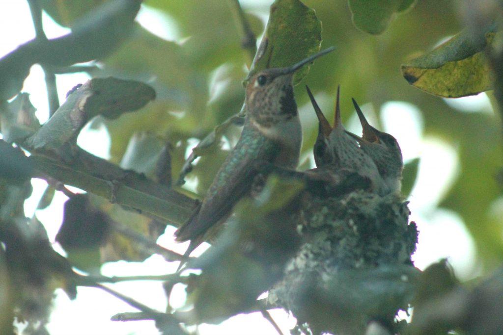 hummingbirds IMG_6417