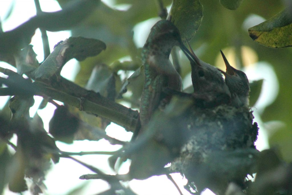 hummingbirds IMG_6427