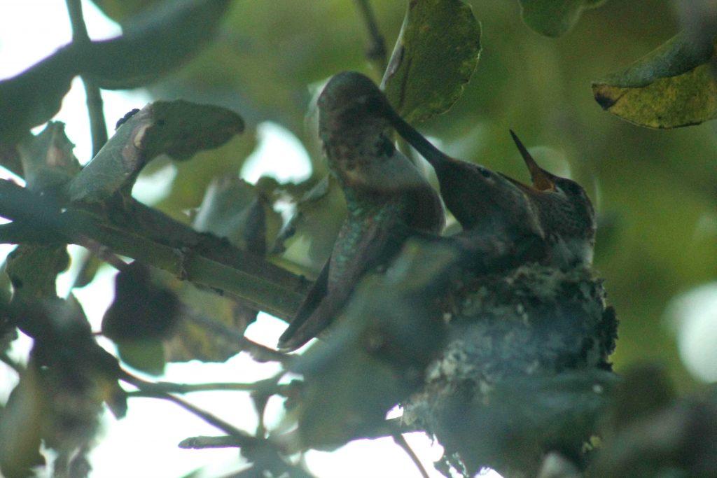 hummingbirds IMG_6428