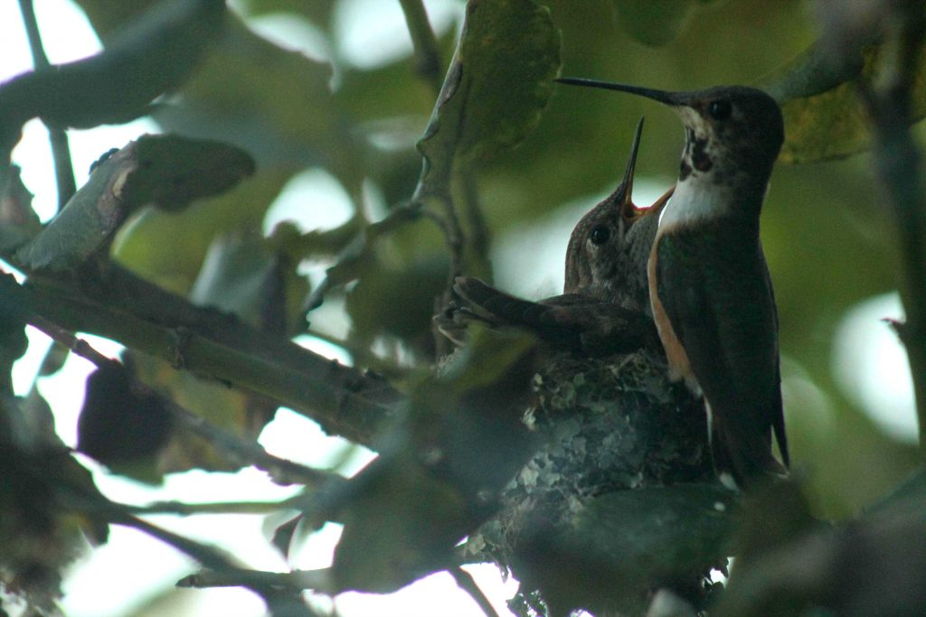 hummingbirds IMG_6437