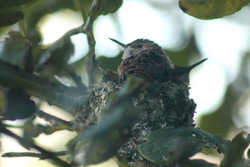 hummingbirds IMG_6447