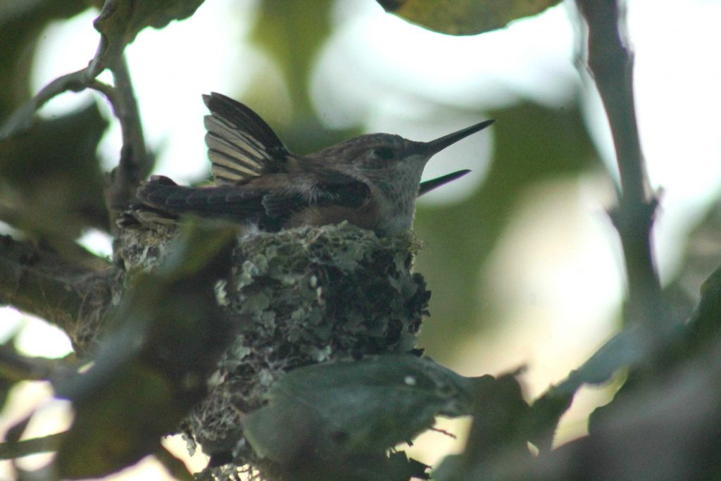 hummingbirds IMG_6453