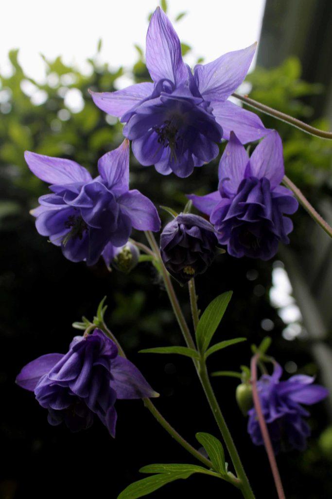 purple IMG_6547
